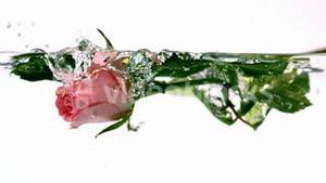 Pink rose falling into water