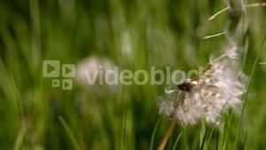 Dandelion seeds blowing from the flower