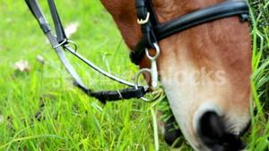 Horse chomping down on grass