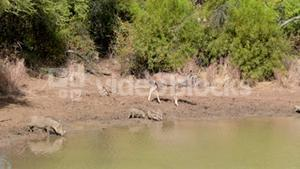 Antelopes drinking by the water