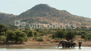 Elephants drinking from watering hole