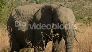 Elephant grazing the african plain