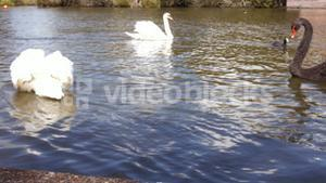 Swans gliding over water