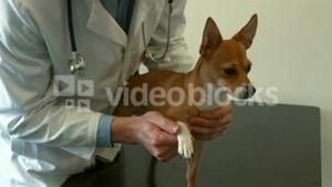 Vet examining little dog in office