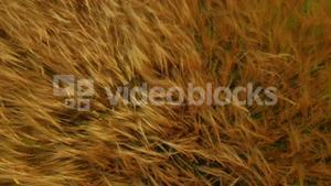 Drone footage of golden fields blowing in the wind