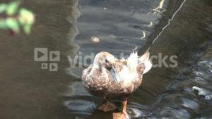 Stock Footage Ducks 10