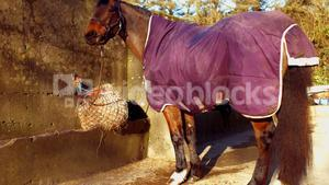 Rear view of horse is eating hay