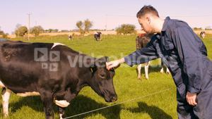 Cattle farmer petting cow