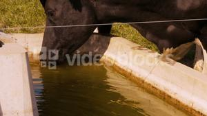 Thirsty cow drinking water