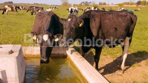 Thirsty cows drinking water