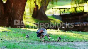 Duck and baby ducks eating grass