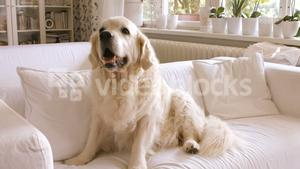 Pet dog relaxing on a sofa