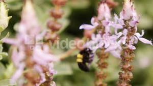 Honey bee collecting a nectar from flower