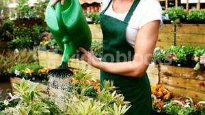 Female florist watering plant with watering can