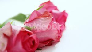 Bunch of pink roses on white background